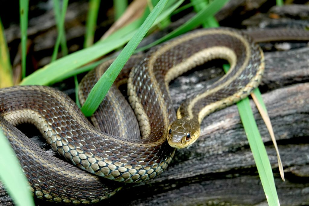 Are garter snakes poisonous to animals ?