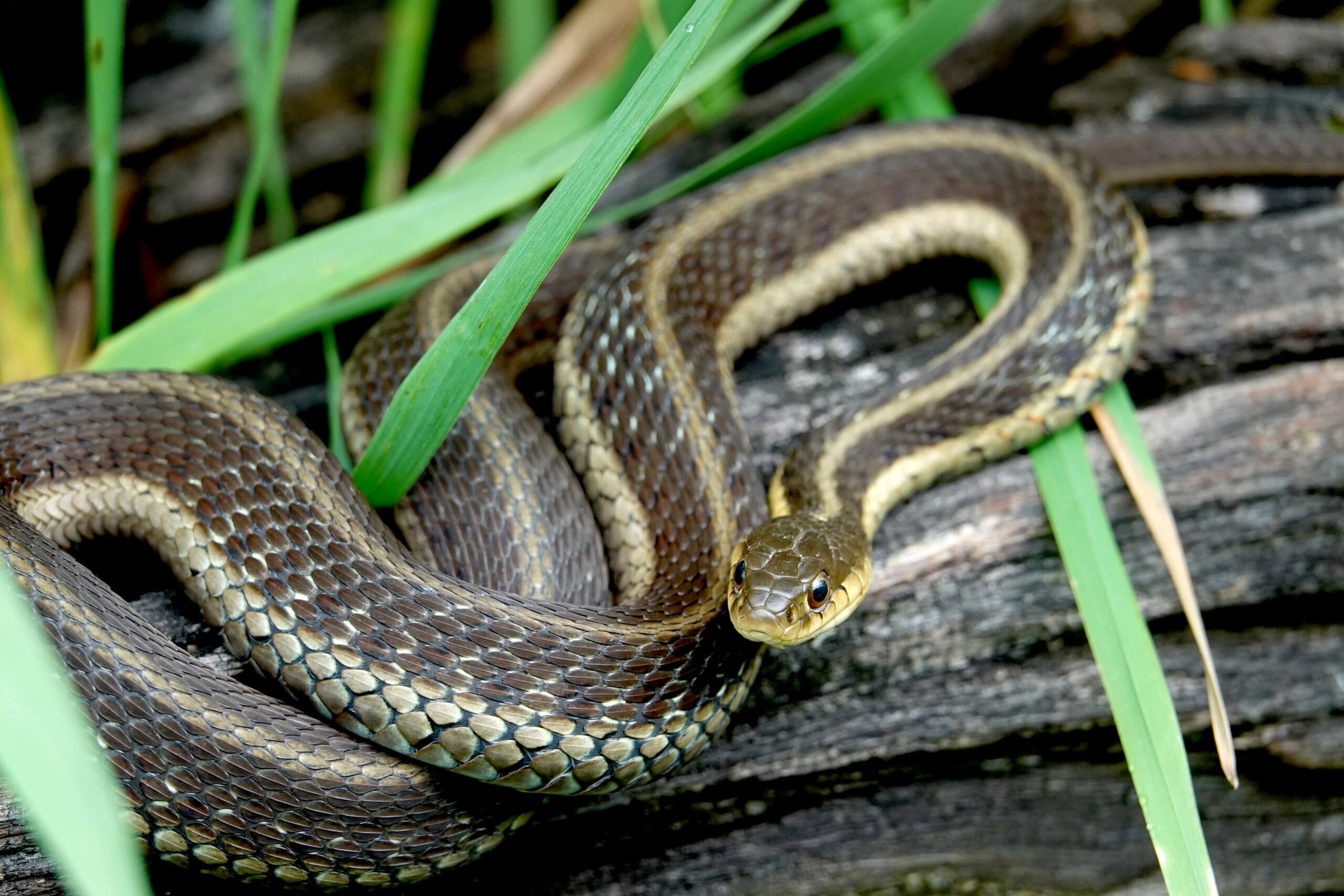Are-garter-snakes-poisonous-to-animals
