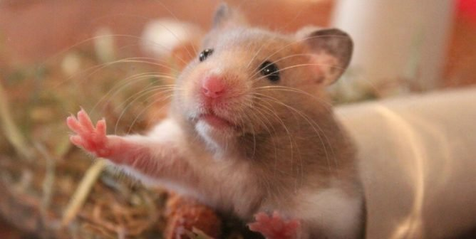 Do hamsters bury themselves before they die?