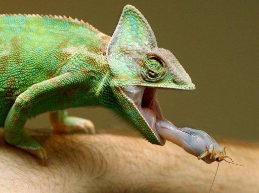 How long do chameleons live for in captive