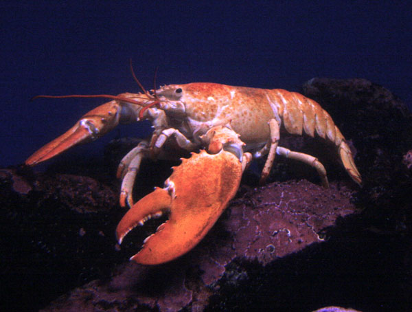 How do lobsters communicate