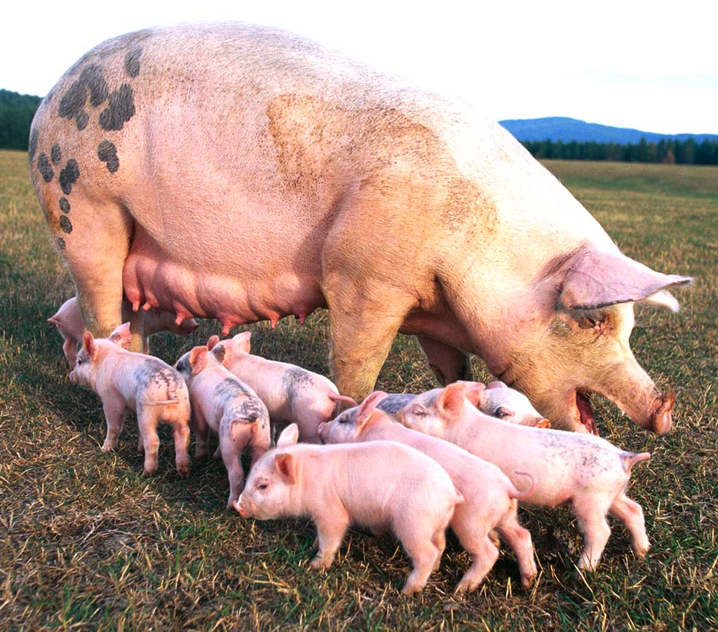 How to start a pig farm business