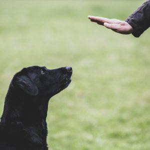 a-dog-trainer-giving-a-hand-command-to-black-labrador-dog--1153579373-cb14c8fb30724468a702c972910c6f2a