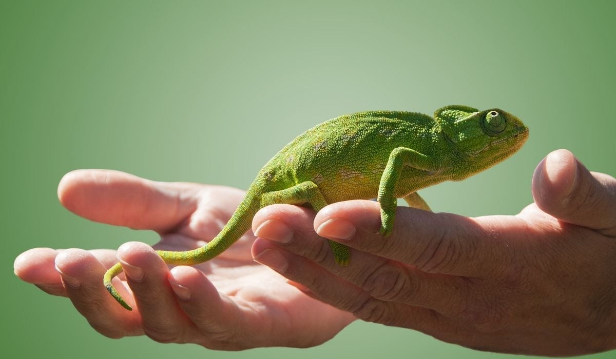 Do-chameleons-like-to-be-petted-3