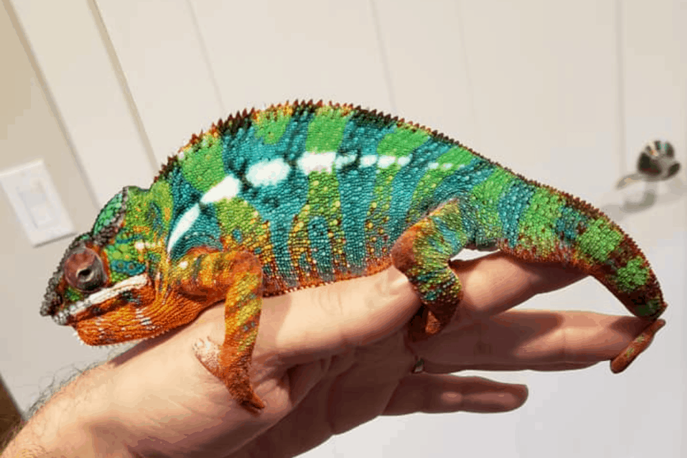 Do chameleons like to be petted