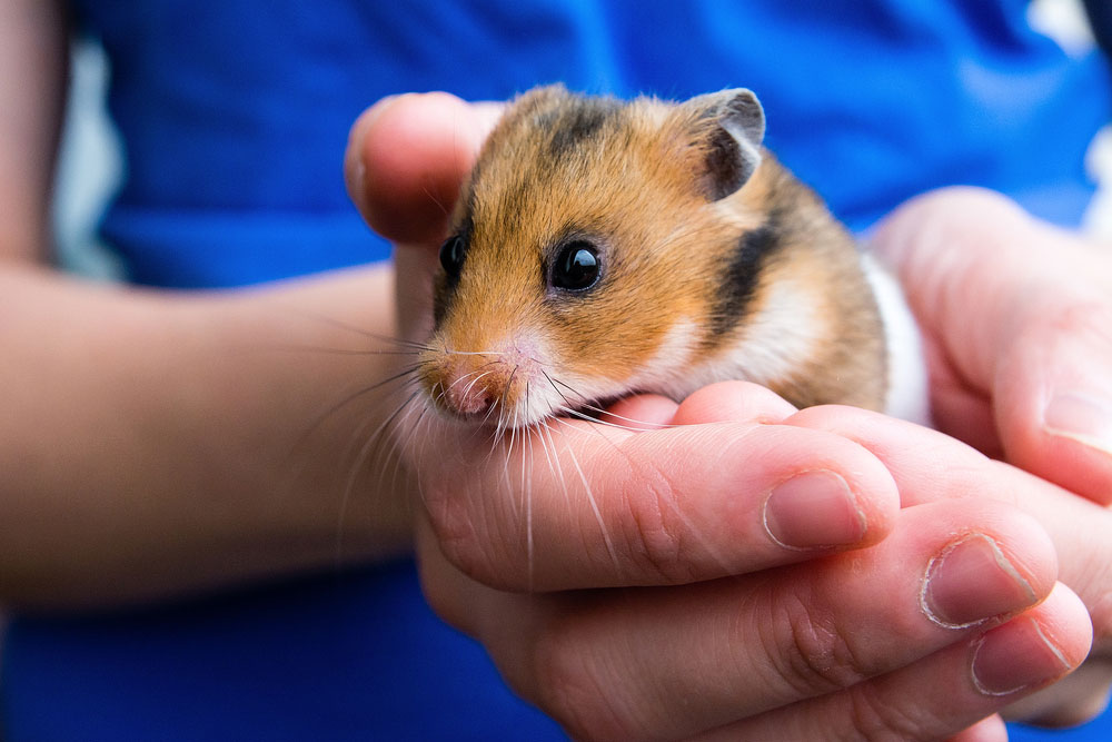 How-To-Comfort-A-Dying-Hamster