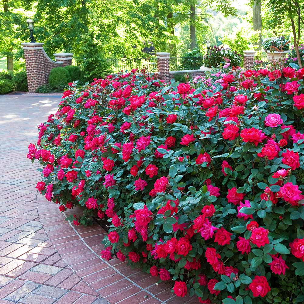 How-and-When-to-Prune-Knock-Out-Roses-1