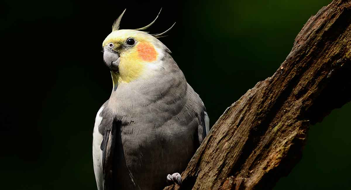 How long do cockatiels live in captivity