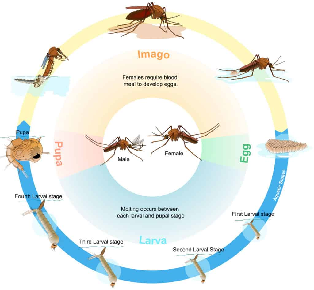 How long do mosquitoes live Indoor and Outdoor