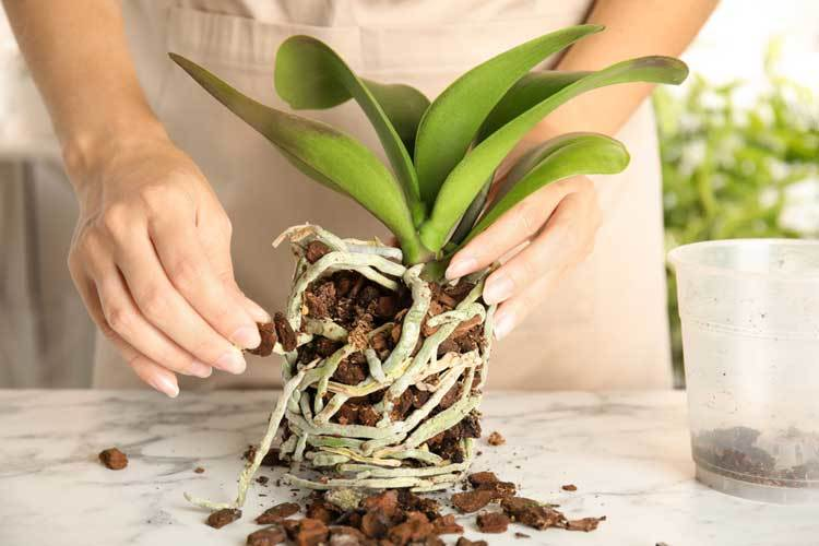 How often do you water an orchid in a pot