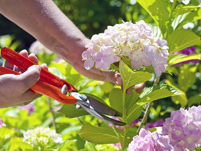 When-And-How-to-prune-hydrangeas-1