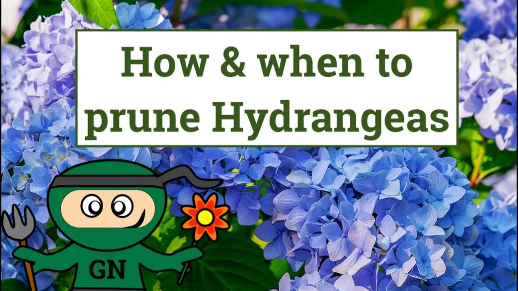 When And How to prune hydrangeas